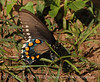 Pipevine Swallowtail fem laying eggs (9)