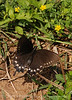 Pipevine Swallowtail fem laying eggs (11)