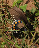 Pipevine Swallowtail fem laying eggs (4)