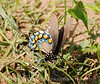 Pipevine Swallowtail fem laying eggs (1)