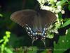 E Tiger Swallowtail female dark form, TN (9)