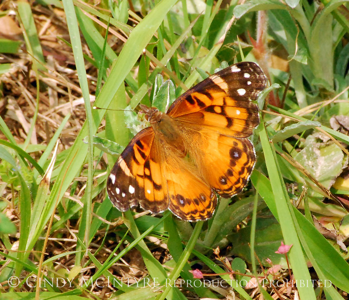 American Painted Lady, Cochran Shoals (1)