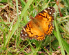 American Painted Lady, Cochran Shoals (2)