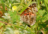 American Painted Lady, Cochran Shoals (4)