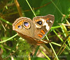 Buckeye butterfly, GA (5)