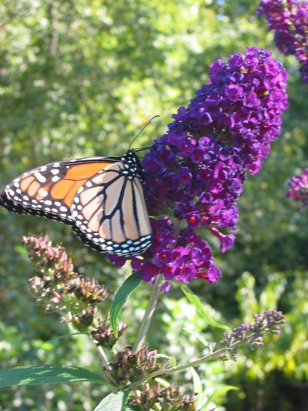 00aFavorite Monarch (Danaus plexippus) butterfly on my butterfly bush cl