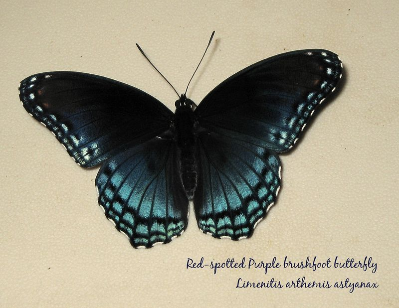 Red-spotted Purple butterfly outside Charlotte home of Sarla& Raj Kumar [txt,full res&sz]