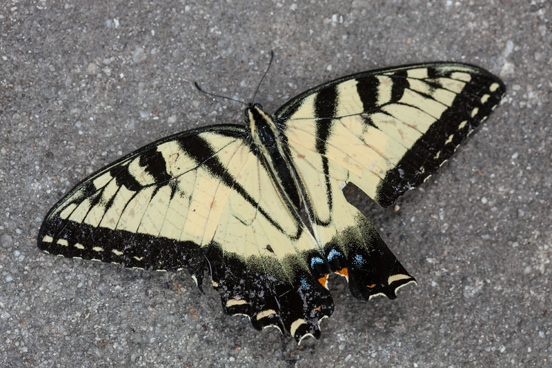 00aFavorite 20150814 (1332) - Eastern tiger swallowtail (Papilio glaucus)  found dead on my driveway, alas
