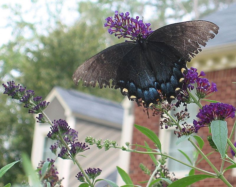 Eastern Tiger Swallowtail (Papilio glaucus) - female black form (blue and black) on my butterfly bush, Aug03