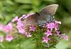 20080815 Butterfly, Duke Gardens