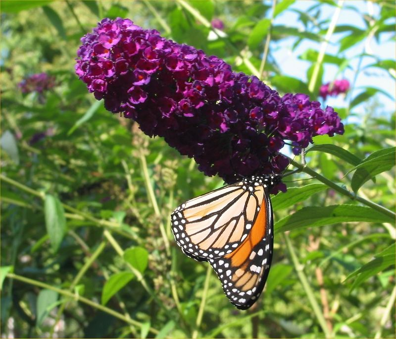 Monarch (Danaus plexippus) butterfly on my butterfly bush 2 cl