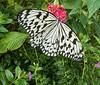 20120208 Paper Kite (Idea leuconoe), MusLifeSci, Durham NC (1549)
