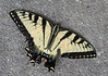 20150814 (1331) - Eastern tiger swallowtail butterfly on my driveway in DurhamNC
