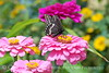 Black swallowtail on chrysanthemum, Maine (1)
