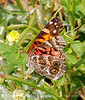 American Painted Lady, Cochran Shoals (3)