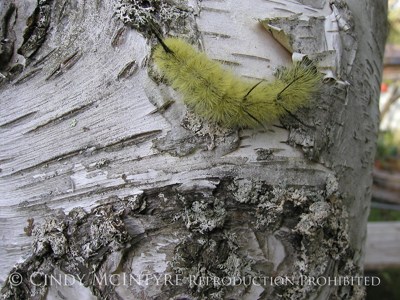 Am Dagger Moth caterpillar on birch, Maine (1)