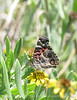 American Painted Lady, Savannah GA (1)