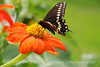 Black swallowtail on chrysanthemum, Maine (2)