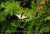Tiger Swallowtail on arborvitae, Maine