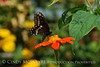 Black swallowtail on tithonia, Maine (1)