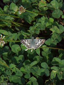 Common Checkered White at Black Bayou (7-2-00)
