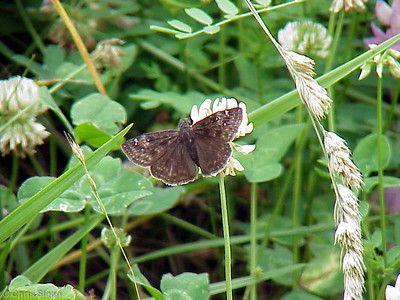 Horace's Duskywing at Dunhill Village (6-3-00)