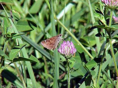 Little Glassywing at Lookout Mountain Count (7-15-00)