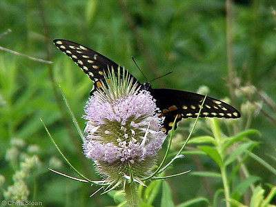 Black Swallowtail at Radnor Lake (7-8-00)