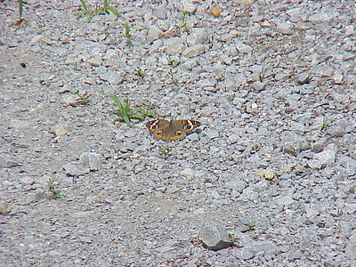 Common Buckeye at Gallatin Steam Plant (5-13-00)