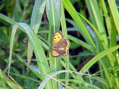 Bronze Copper (2) at Black Bayou (9-23-01)