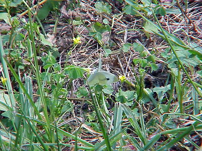 Cabbage White (poor) at Radnor Lake (7-8-00)