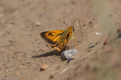 Delaware Skipper (1) at Peabody WMA, KY (06-06-2009)