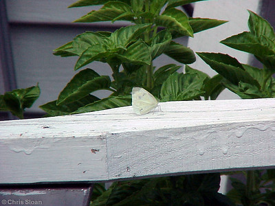 Cabbage White at Garr's (8-19-00)