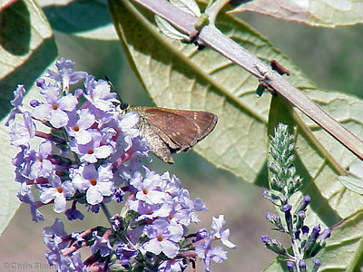 Little Glassywing at Dunhill Village (8-13-00)