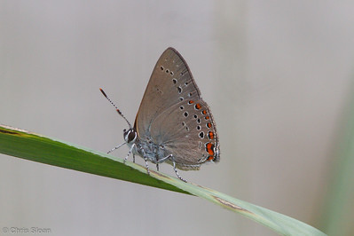 Coral Hairstreak at Peabody WMA, KY (06-06-2009)