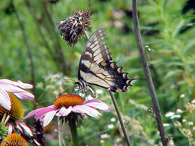 Eastern Tiger Swallowtail light morph at Radnor Lake (7-8-00)