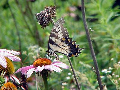 Eastern Tiger Swallowtail light morph at Radnor Lake (7-8-00)