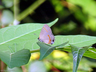 Red-banded Hairstreak at Radnor Lake (7-8-00)