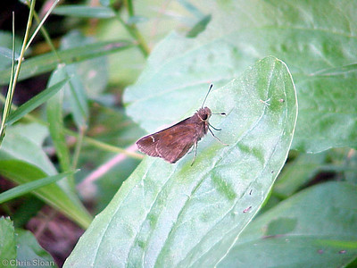 Clouded Skipper at Lookout Mountain Count (7-15-00)