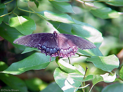 Eastern Tiger Swallowtail dark morph at Radnor Lake (7-8-00)