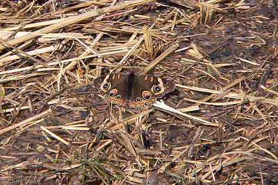 Common Buckeye at Bells Bend, TN (11-18-06)