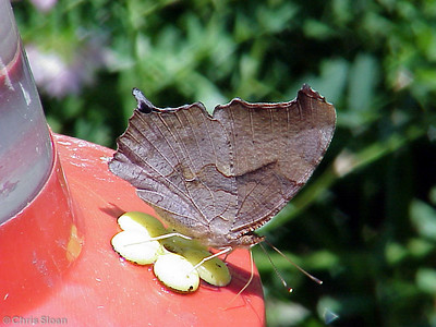 Eastern Comma at Dunhill Village (6-2-01)