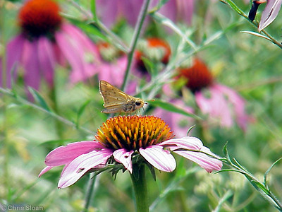 Fiery Skipper at Radnor Lake (7-8-00)