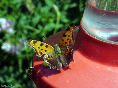 Eastern Comma (3) at Dunhill Village (6-2-01)