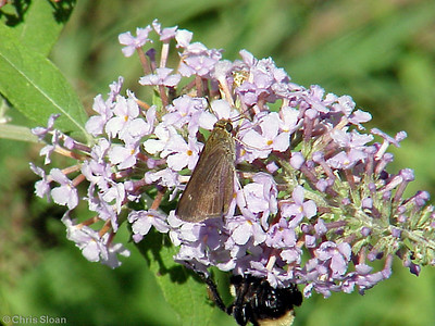 Little Glassywing (2) at Dunhill Village (8-13-00)