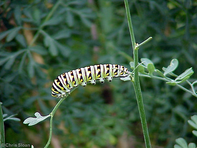 Black Swallowtail caterpillar at Garr's (8-29-00)