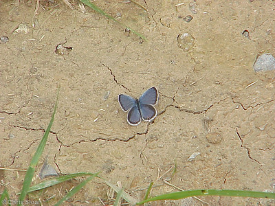 Eastern Tailed Blue at Dunhill Village (6-3-00)