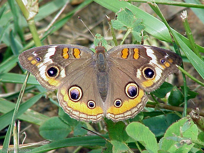 Common Buckeye at Dunhill Village (6-4-00)