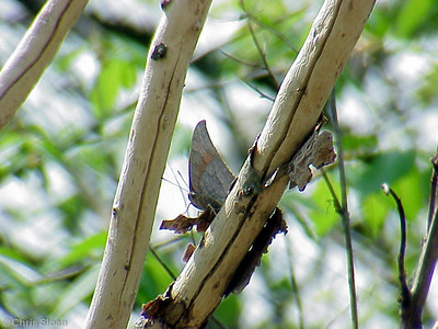 Goatweed Leafwing (2) in Lake County (4-20-02)