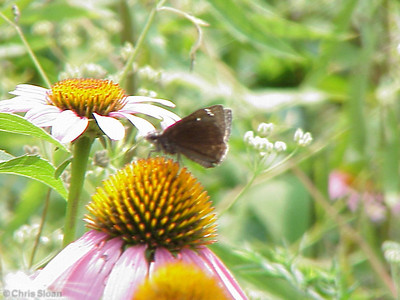 Common Sootywing at Radnor Lake (7-8-00)